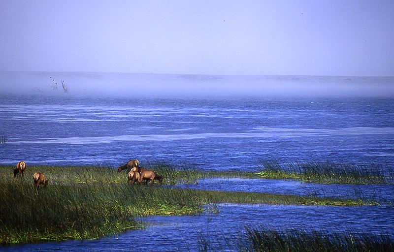 Saltwater elk.
