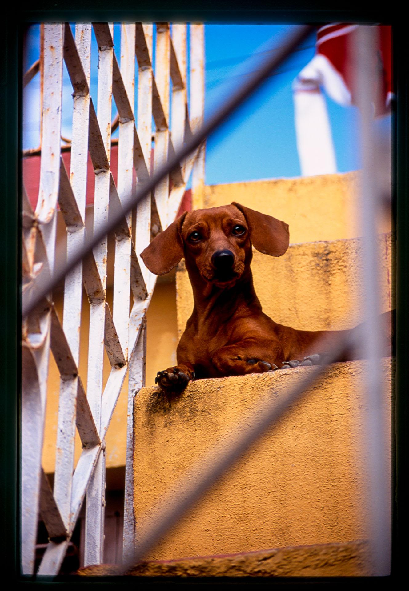 pedrito-dog